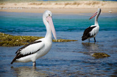 Pelikane am Strand Lizenzfreies Stockfoto