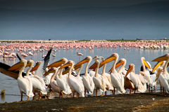 Pelikane und Flamingos Lizenzfreies Stockbild