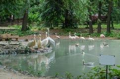 Pelikane und Flamingos in dem Teich mit Nummernschild stockfoto