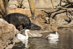 Pelikane und Flusspferd Lizenzfreies Stockbild