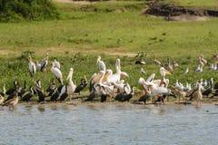 Pelikane und Kormorane auf einem Fluss-Ufer Lizenzfreies Stockfoto