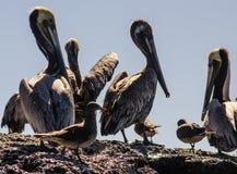 Pelikane und Möven Stockbild