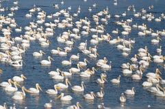 Pelikane und mehr Pelikane stockbilder