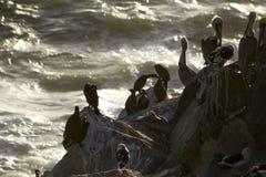 Pelikane und Seemöwen Stockfotografie