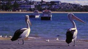 Pelikane und Seemöwen auf einem Kai stock video footage