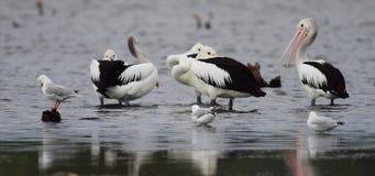 Pelikane und Seemöwen, die im seichten Wasser stehen stock footage