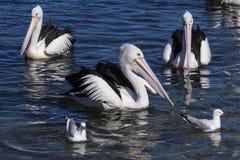 Pelikane und Seemöwen, die zusammen schwimmen Lizenzfreie Stockfotografie