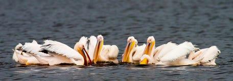 Pelikanen Stock Afbeelding