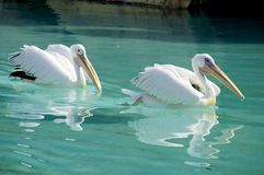 Pelikanen Royalty-vrije Stock Foto