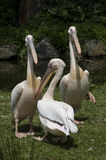 Pelikanen Stock Fotografie