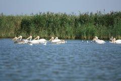 Pelikanen Royalty-vrije Stock Afbeeldingen