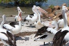 Pelikanen Royalty-vrije Stock Afbeelding