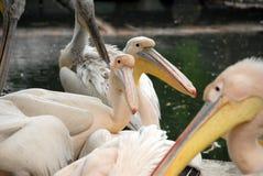 Pelikanen Stock Foto