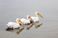 Pelikanen Stockfotografie