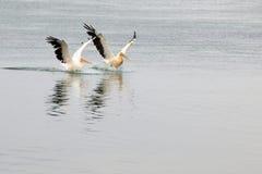 Pelikanen Foto de Stock