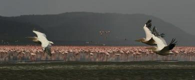 Pelikanen Stock Foto's