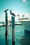Pelikanen bij dok royalty-vrije stock fotografie