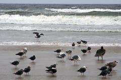 Pelikanen bij Pismo Strand, Californië Royalty-vrije Stock Foto's