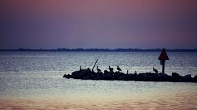 Pelikanen bij Schemer bij St Josephs van het Pierpark Baai worden neergestreken die Stock Afbeelding