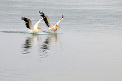 Pelikanen in the Bergrivier, Bokkom Ave, Velddrif. Pelikanen birds  on the  Bergrivier near Veldrif, Eastern Cape, South Africa, Bokkom Ave Stock Photo