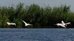 Pelikanen in de Delta van Donau stock foto
