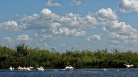 Pelikanen in de Delta van Donau royalty-vrije stock afbeeldingen