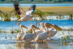 Pelikanen in de delta van Donau, Roemenië Een gemeenschappelijk gezicht voor aan stock foto