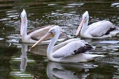 Pelikanen in de parkvijver stock foto