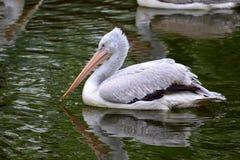 Pelikanen in de parkvijver stock fotografie