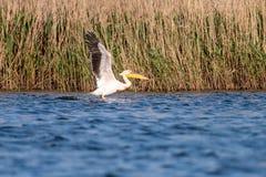 Pelikanen die in de Delta van Donau, het wild van Roemeni? vogelwaarneming vliegen royalty-vrije stock afbeeldingen
