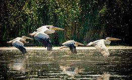 Pelikanen die in de Delta van Donau, Roemenië vliegen royalty-vrije stock foto