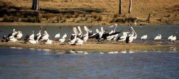 Pelikanen die door het meer rusten Royalty-vrije Stock Fotografie
