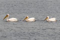 Pelikanen die in een meer zwemmen Royalty-vrije Stock Afbeeldingen