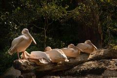 Pelikanen die en zich op houten logboeken liggen bevinden stock fotografie