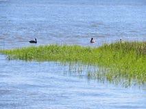 Pelikanen die in het moeras en het moerasland langs Shem Creek in Charleston, Zuid-Carolina drijven royalty-vrije stock afbeeldingen