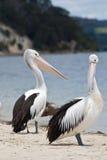 Pelikanen die hun rekeningen tonen Royalty-vrije Stock Afbeelding