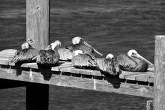 Pelikanen die op de dokachtergrond rusten stock afbeeldingen