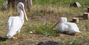 Pelikanen die op Gras rusten Stock Foto's