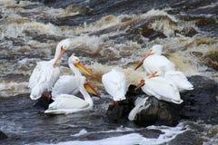 Pelikanen die op het Eind van een Rivier vissen Stock Fotografie