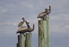 Pelikanen die op Posten zitten Royalty-vrije Stock Afbeelding