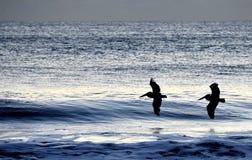 Pelikanen die over de ochtendgolven vliegen Stock Foto's