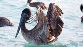 Pelikanen die over het overzees in Miami vliegen, die in de kust bij branding-kust vissen terwijl het jacht voor voedsel Stock Afbeelding