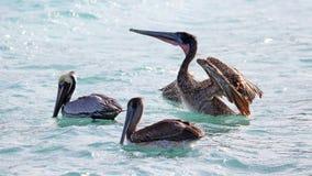 Pelikanen die over het overzees in Miami vliegen, die in de kust bij branding-kust vissen terwijl het jacht voor voedsel Royalty-vrije Stock Fotografie