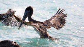 Pelikanen die over het overzees in Miami vliegen, die in de kust bij branding-kust vissen terwijl het jacht voor voedsel Royalty-vrije Stock Foto's