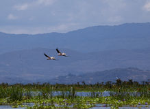 Pelikanen die over Meer Naivasha vliegen Stock Foto's