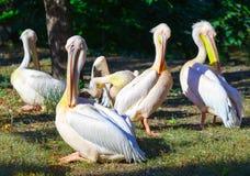 Pelikanen die van de de zomerzon genieten royalty-vrije stock afbeeldingen