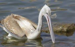 Pelikanen die vissen vangen dichtbij Meer Hora, Ethiopië royalty-vrije stock afbeelding