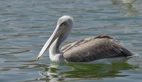 Pelikanen die vissen vangen dichtbij Meer Hora, Ethiopië royalty-vrije stock foto