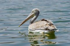 Pelikanen die vissen vangen dichtbij Meer Hora, Ethiopië stock afbeeldingen