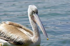 Pelikanen die vissen vangen dichtbij Meer Hora, Ethiopië stock fotografie